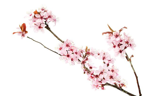 Branch of blooming cherry tree on white background picture id519428074?b=1&k=6&m=519428074&s=612x612&w=0&h=zc8d0je lo6yxpguoxscs6tudt7kmfiufxo9etstamy=