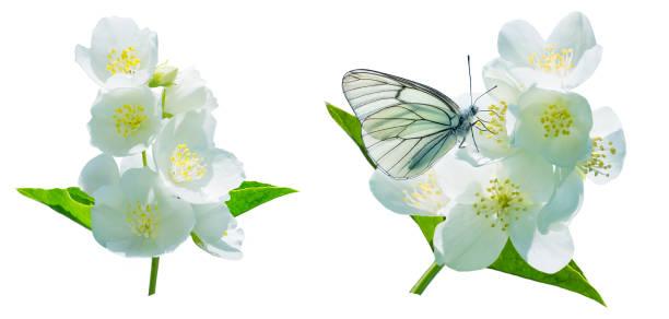 branch of blooming jasmine. - farfalla ramo foto e immagini stock