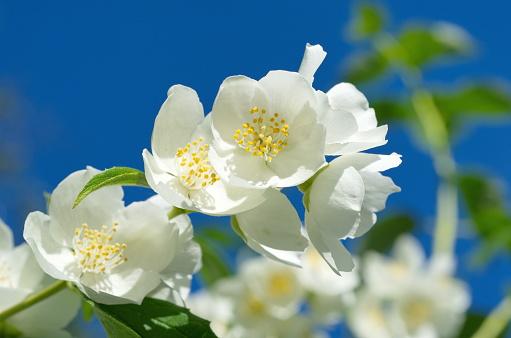 Branch of blooming Jasmine
