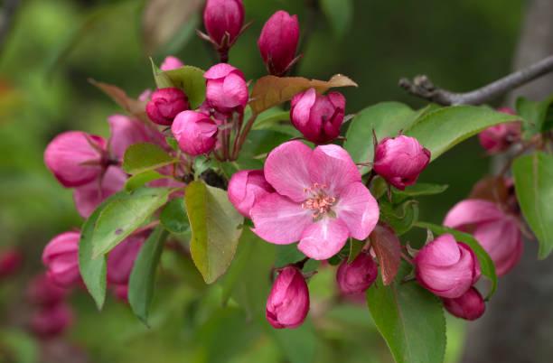 Zweig der blühenden rosa Apfelbaum Close Up View. – Foto