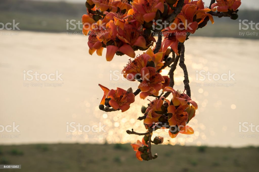 Branch of blossoming Bombax ceiba tree or Red Silk Cotton Flower in sunset with river on background stock photo