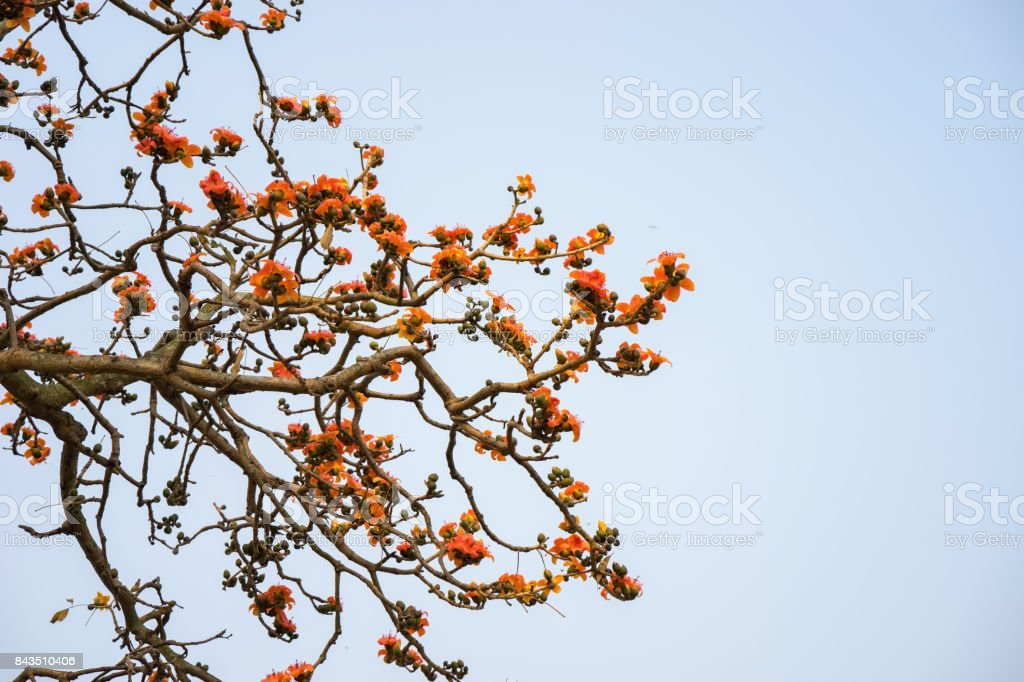 Branch of blossoming Bombax ceiba tree or Red Silk Cotton Flower stock photo
