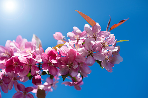 Branch of blossoming cherry on a background of blue sky on a sunny day.