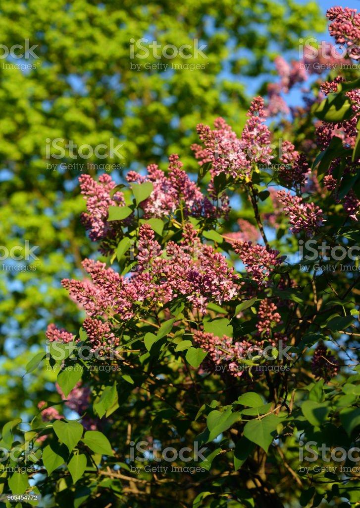 Crée une branche de lilas fleuri. - Photo de Arbre libre de droits
