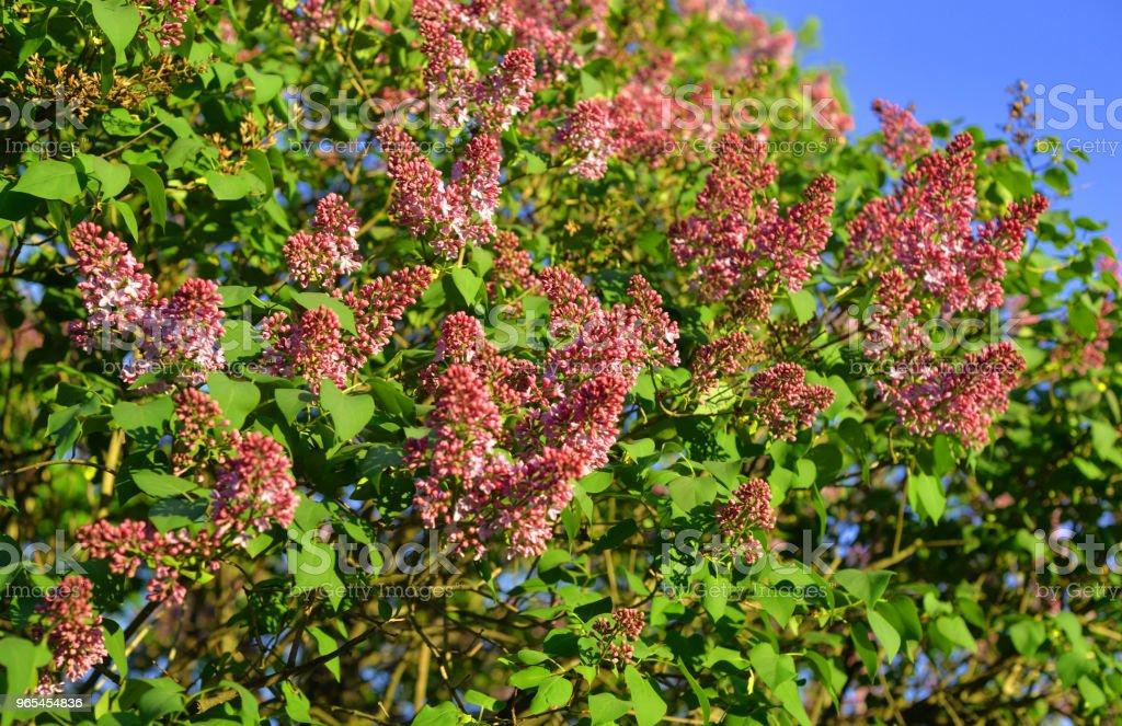 Zweig der blühenden Flieder. - Lizenzfrei Baum Stock-Foto