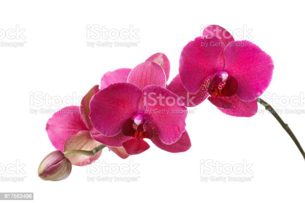 Branch of blossoming orchid burgundy color isolated on white picture id917553496?b=1&k=6&m=917553496&s=612x612&h=s1ffgh ywfh8ytg4j7h6h78e1cwykkoq4dvalpg poo=