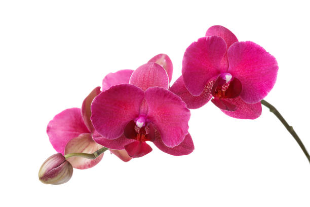 Branch of blossoming orchid burgundy color isolated on white picture id917553496?b=1&k=6&m=917553496&s=612x612&w=0&h=zoimr2iql eu2uvgbbqzahg 0gj1ecbjrflqksh23b8=