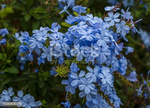 Branch of blossoming plumbago auriculata , beautiful gentle blue flowers