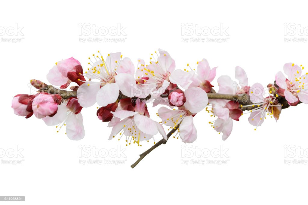 Branch of blossoming tree with pink flowers. Spring flowering. Isolated, white background. stock photo