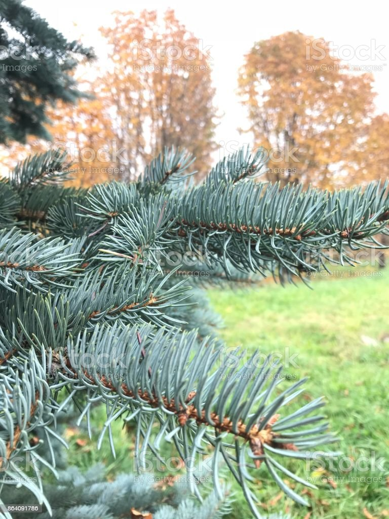 Branch of blue spruce against the background of yellowed autumn trees royalty-free stock photo