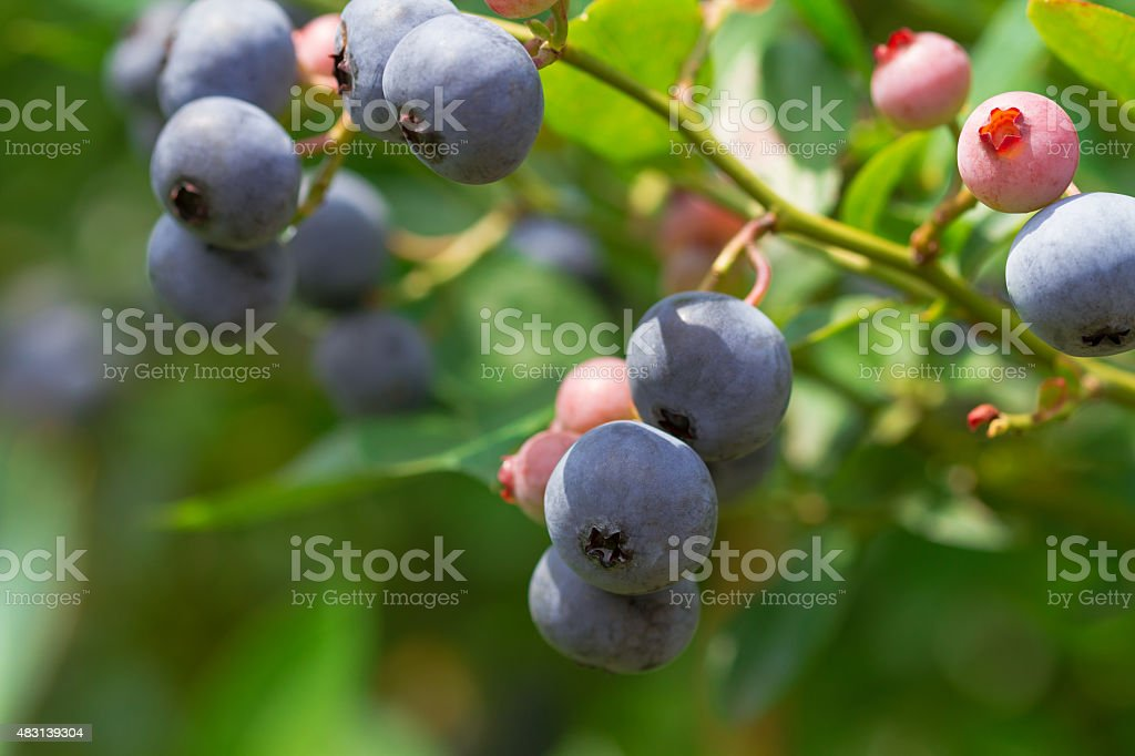 branch of blueberry stock photo