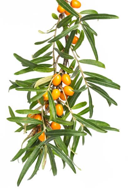 흰색 바탕에 주황색 열매와 갈 매 나무속 (hippophae rhamnoides)의 분 지 - 씨벅턴 뉴스 사진 이미지