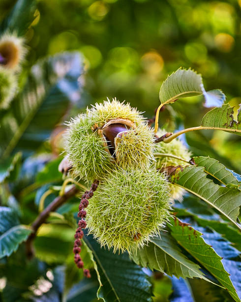 zweig der kastanie mit früchten. kastanien. castanea sativa. - kastanientiere stock-fotos und bilder