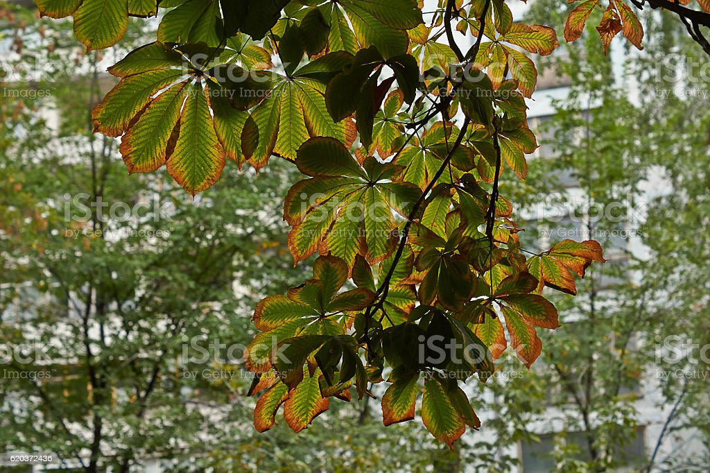 Branch of chestnut with withering leaves. foto de stock royalty-free