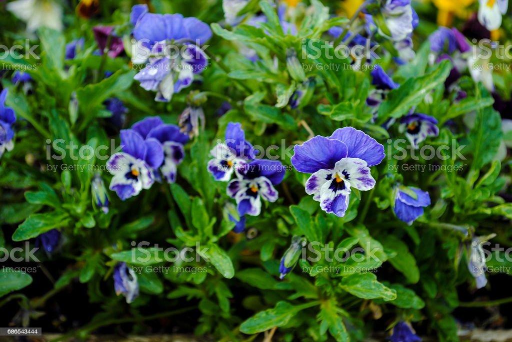 Tak van kleurrijke pansy bloemen op zomer achtergrond royalty free stockfoto
