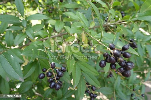 Branch of common privet with black berries in September