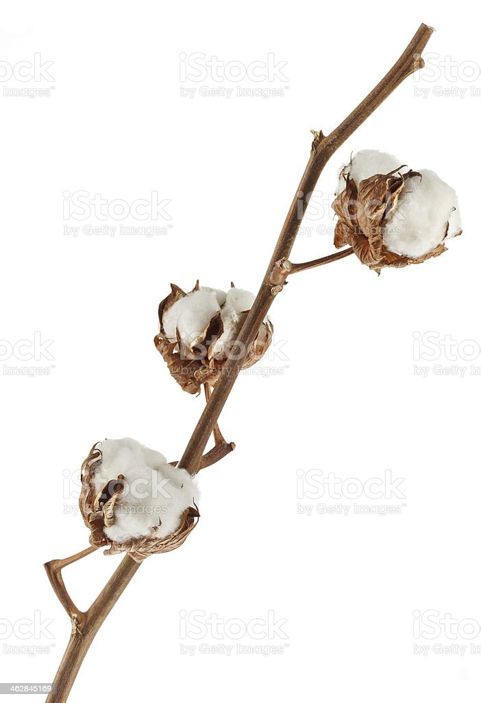 Branch of cotton plant isolated on white stock photo