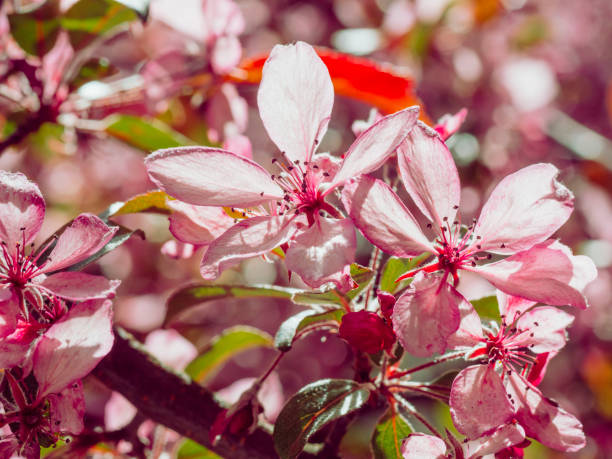 Branch of crab apple pink flowers blossoms, spring sunshine stock photo