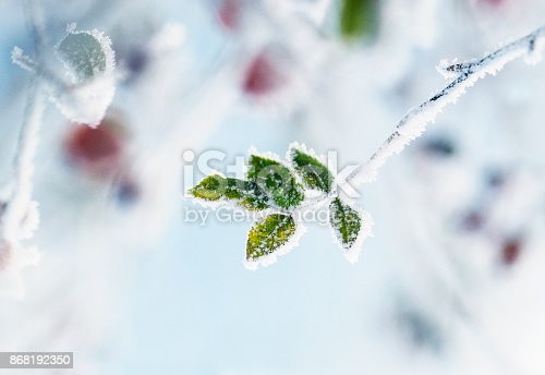 branch of dog rose with green leaves covered in ice cold white frost in the winter