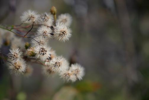 Delicate autumn background. Hieracium umbellatum (Hieracium canadense, Canadian hawkweed). Close up. selective focus