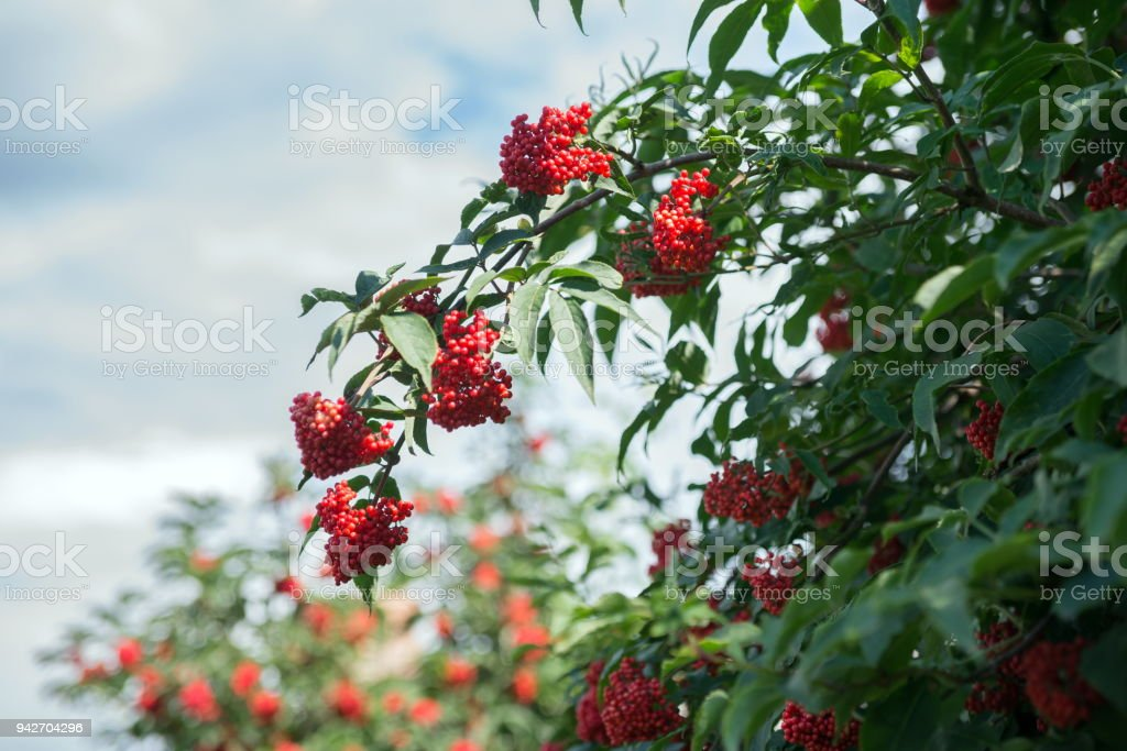 Branch of elderberry red (Sambucus racemosa) against the sky. stock photo
