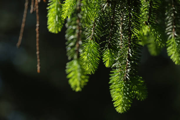 Branch of Evergreen Tree stock photo
