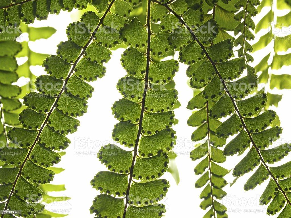 Branch of fern royalty-free stock photo
