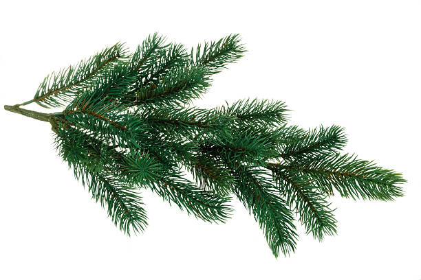 branch of fir. - branch plant part stock pictures, royalty-free photos & images