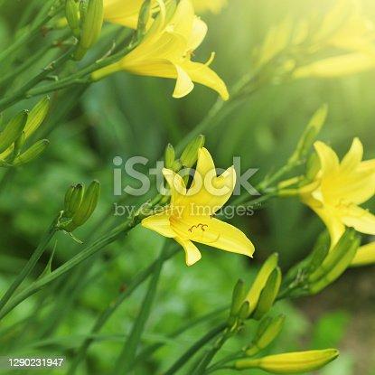 Branch of flower Hemerocallis lilioasphodelus also called Lemon Lily, Yellow Daylily, Hemerocallis flava. Hemerocallis flava Known also as Lemon day-lily, Lemon Lily and Custard Lil