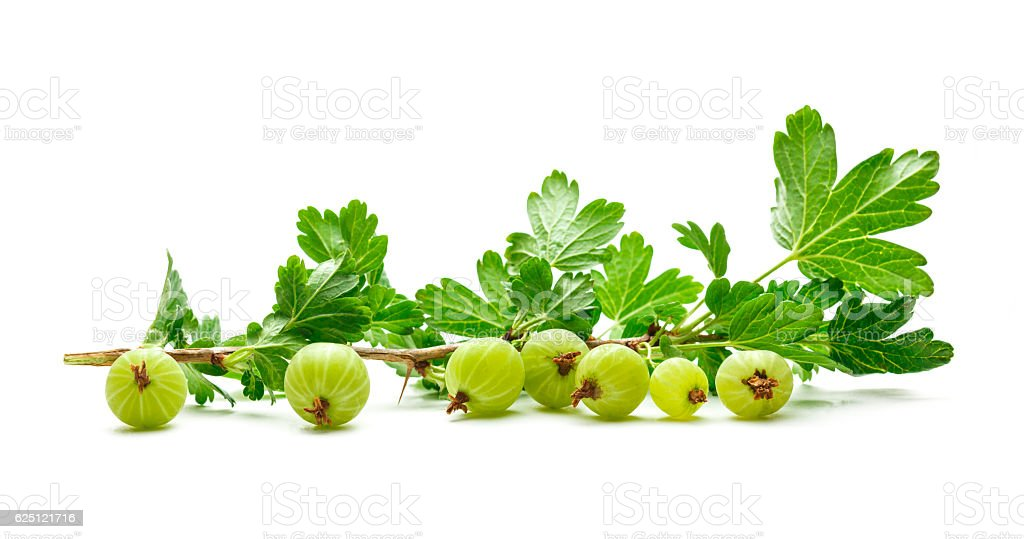 Branch of fresh gooseberry stock photo