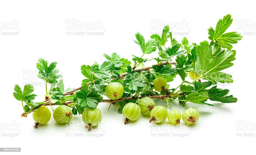 Branch of fresh gooseberry stock photo