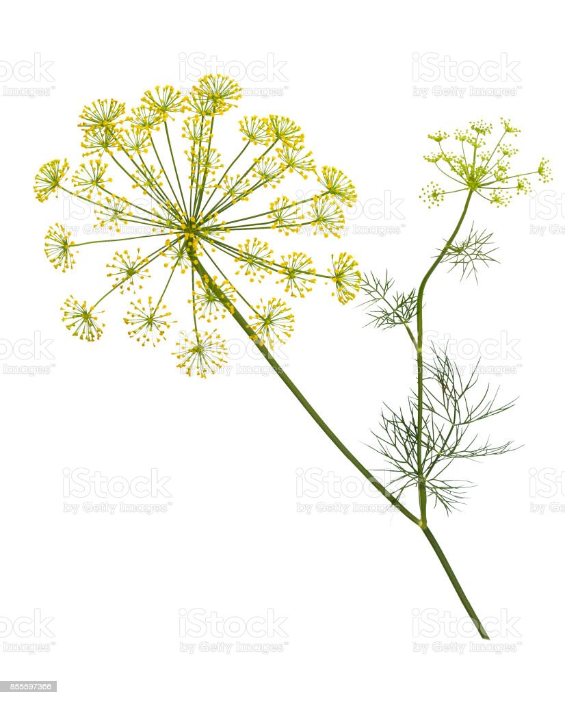 Branch of fresh green dill herb leaves isolated on white .  Flowering plant dill. stock photo