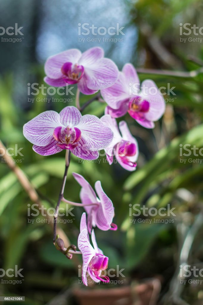 Branch of fresh pink orchid flower with garden background royalty-free stock photo