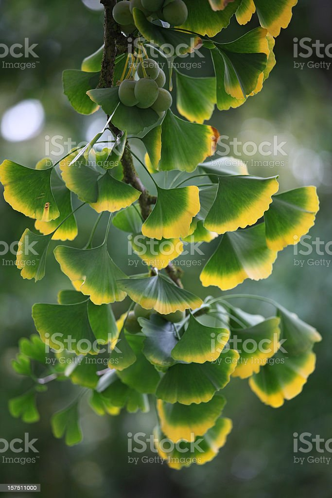 Branch of gingko leaves with green fruits royalty-free stock photo