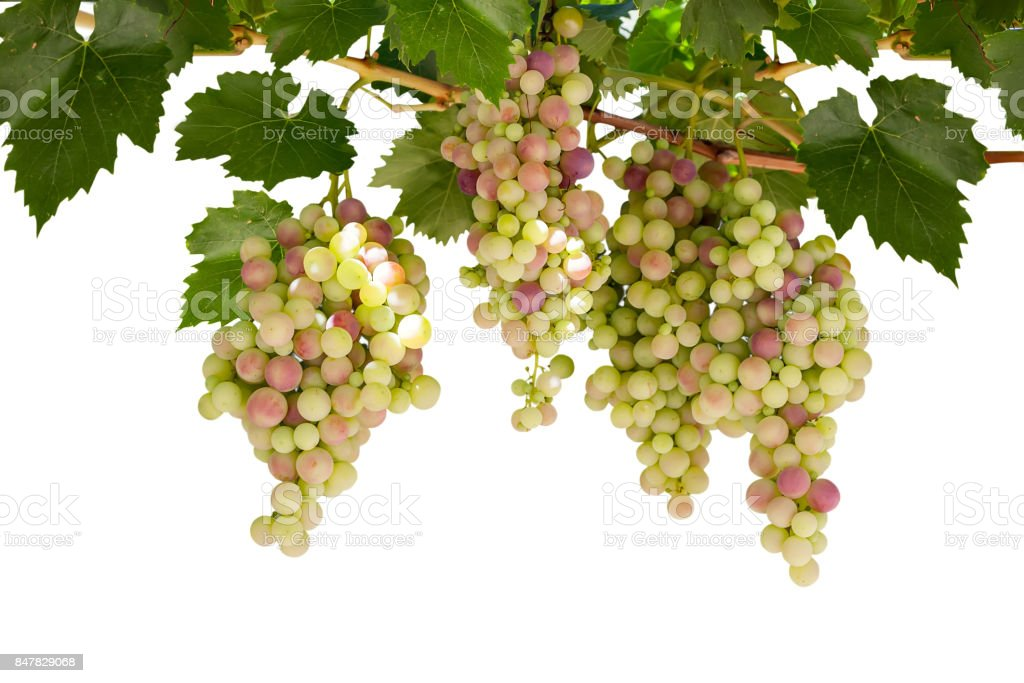 Branch of grapes isolated on white background stock photo