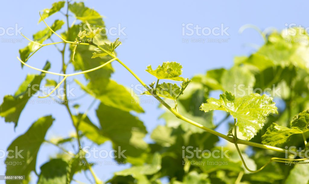 branch of grapes on a background of blue sky stock photo