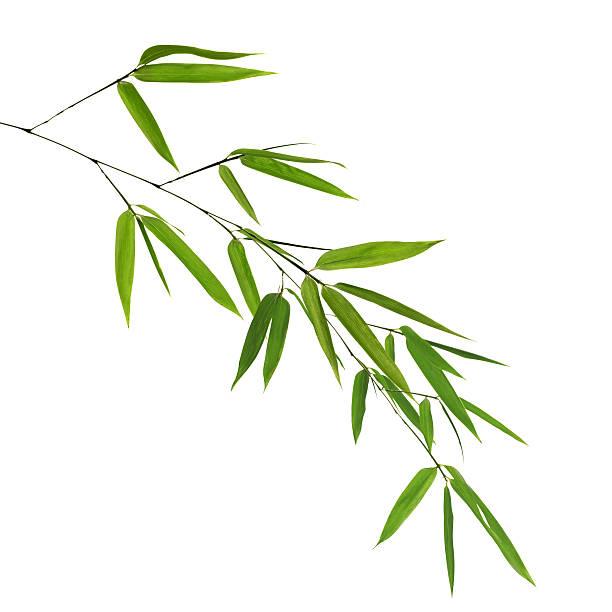 Succursale de bambou vert sur blanc - Photo