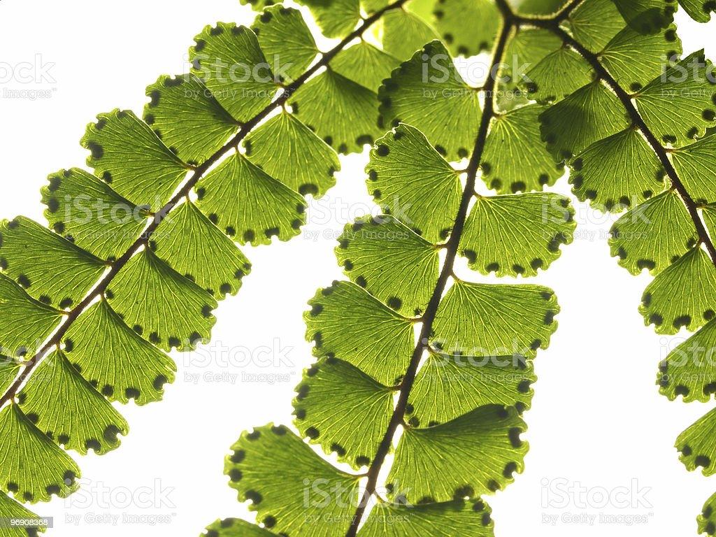 Branch of green fern royalty-free stock photo