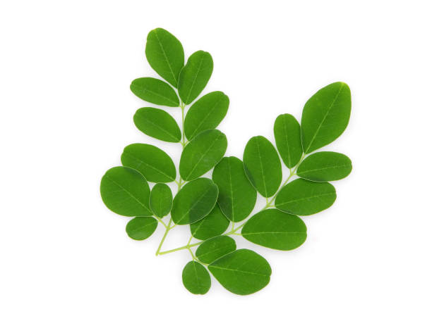 branch of green moringa leaves,tropical herbs isolated on white background – zdjęcie