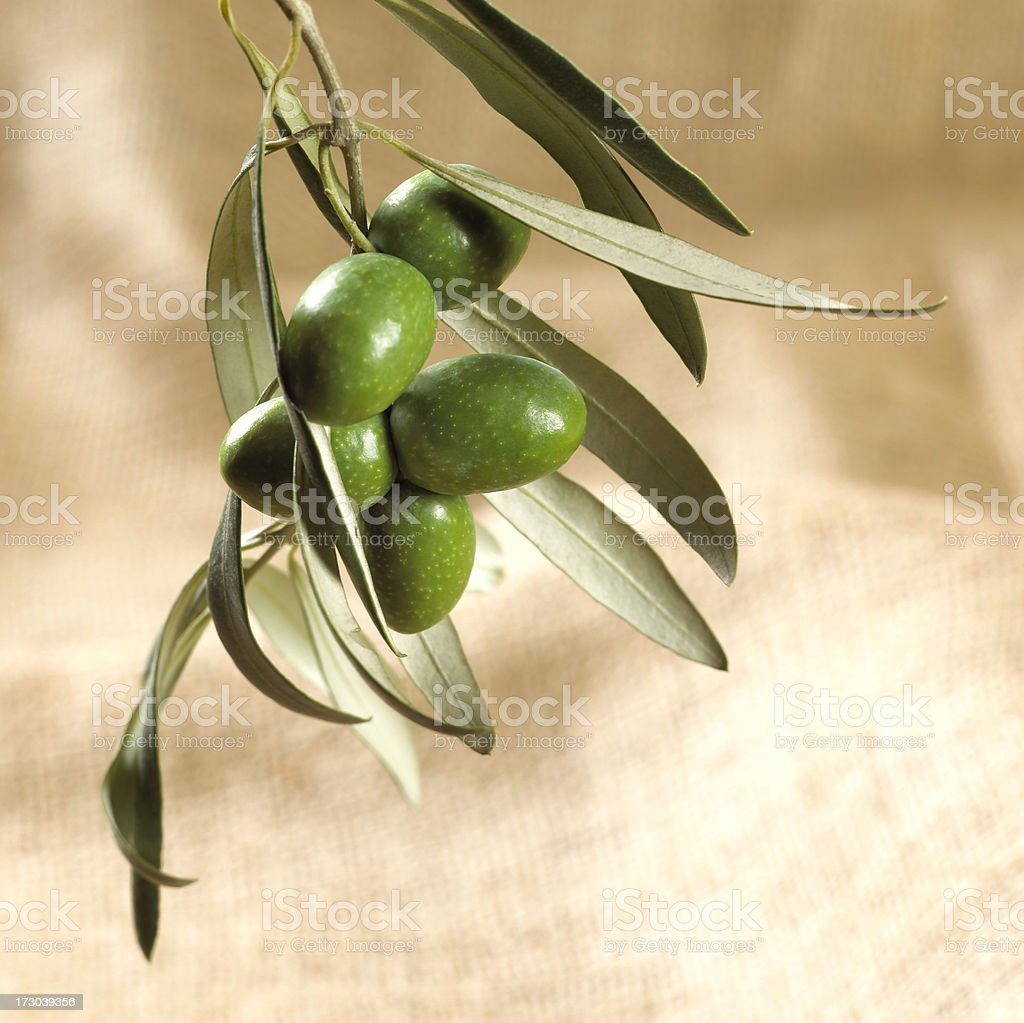 Branch of green olives on sackcloth royalty-free stock photo