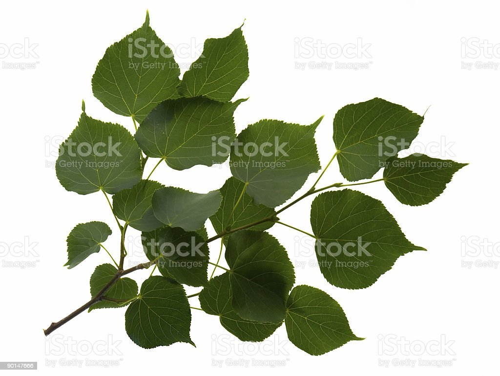 Branch of Green Pear Leaves Isolated on White stock photo