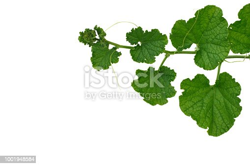 Branch of green pumpkin leaves which can use for Thai cooking isolated on white background with space for text.