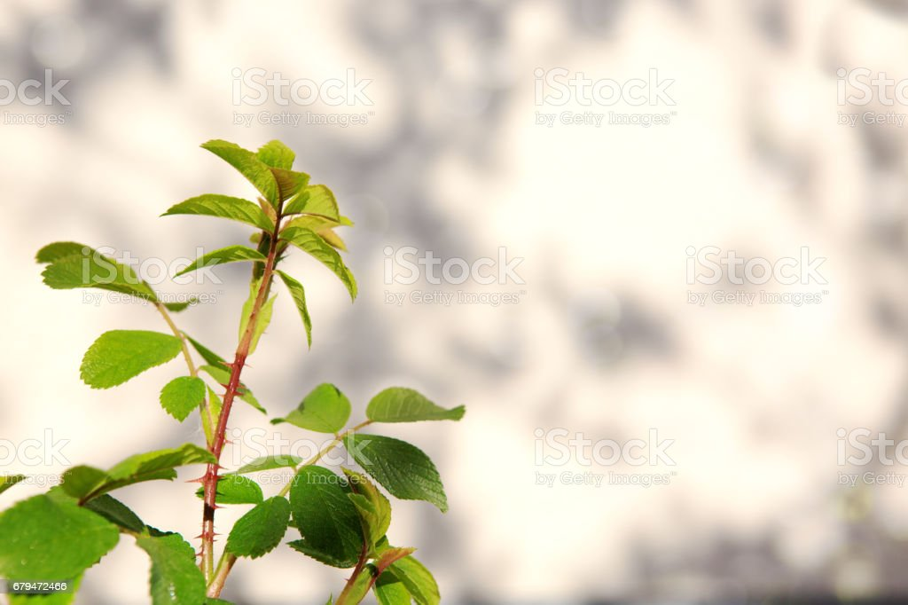 Branch of green roses leaves isolated 免版稅 stock photo