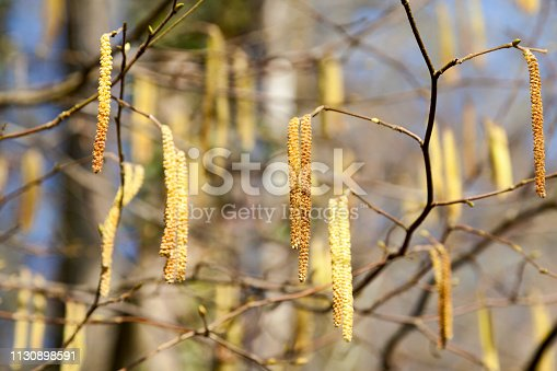 Close-up on male catkins on common hazel.