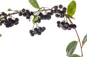 Branch of hokeberry with leaves isolated on white. Black aronia berries. Close-up, studio shoot.