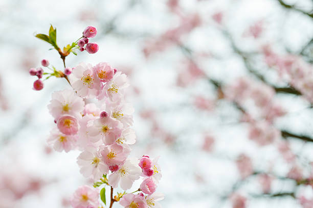 Branch of Japanese Cherry (Sakura) stock photo