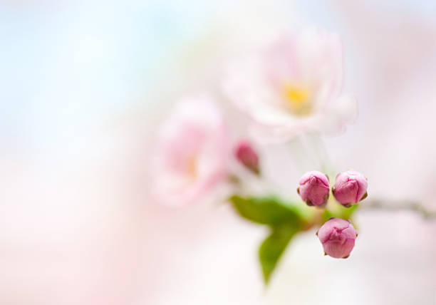 Branch of Japanese cherry with blossom stock photo