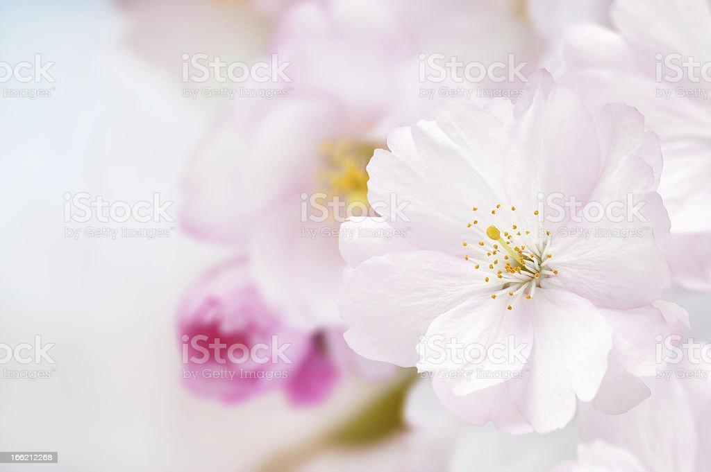Branch of Japanese cherry (Sakura) with blossom royalty-free stock photo