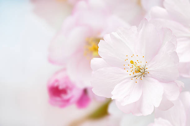 Branch of Japanese cherry (Sakura) with blossom stock photo