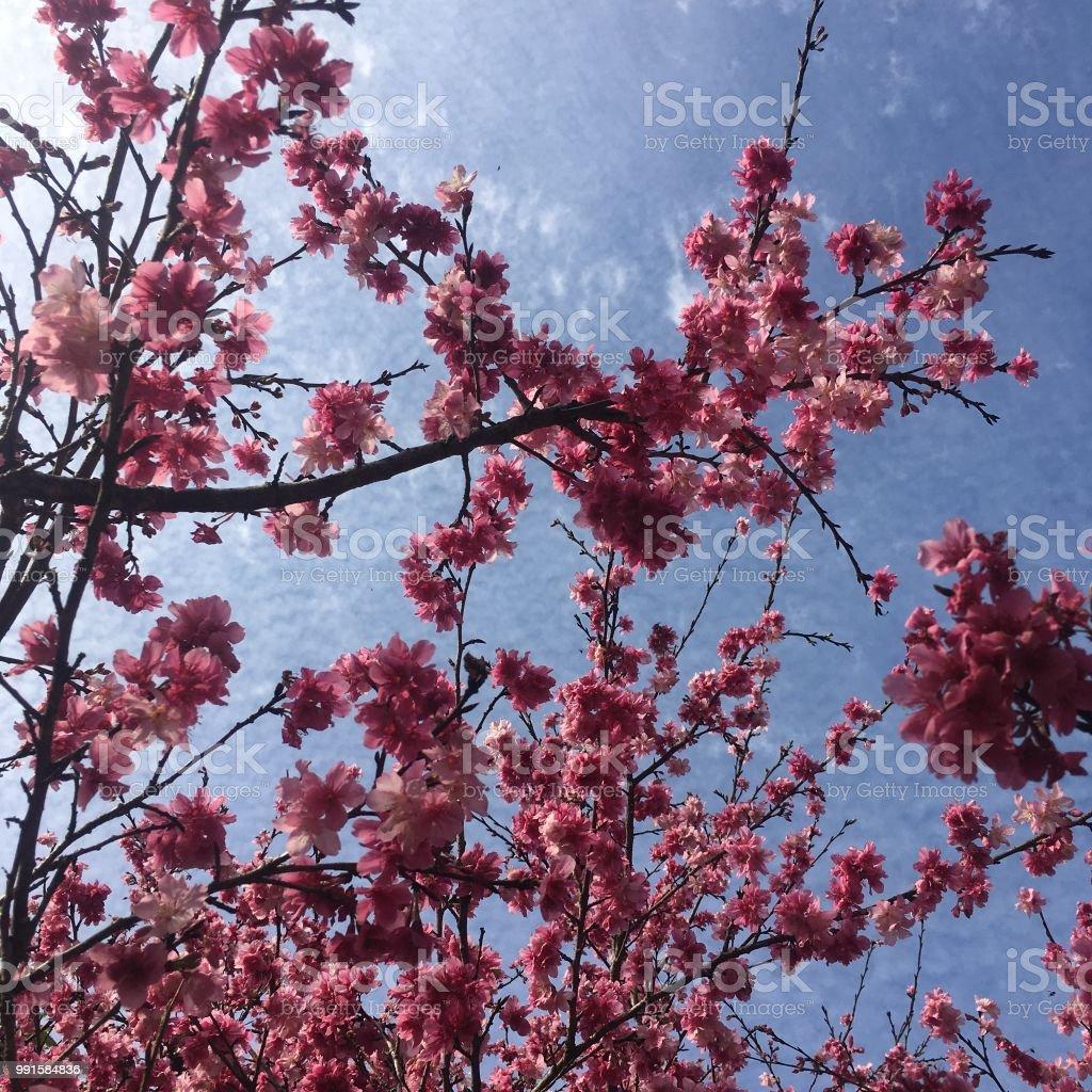 Arbol De Cerezo Japones rama de Árbol de cerezo japonés de sackura floración foto de